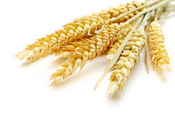 Пшеница при антральном гастрите