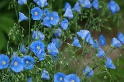 Полезные свойства растения льна