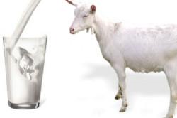 Польза козьего молока при гастрите