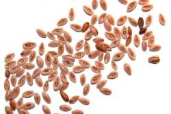 Семена подорожника при заболеваниях желудка