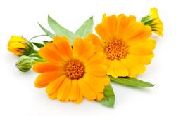 Польза цветков календулы при лечении гастрита