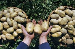 Правильный выбор картофеля для лечения